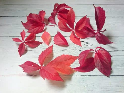 quelques feuilles d'automne très rouges de vigne vierge, posées sur fond de bois gris clair
