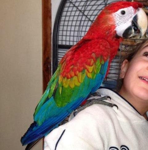perroquet ara chloroptère aux couleurs arc-en-cielchez lui sur l'épaule d'un enfant souriant