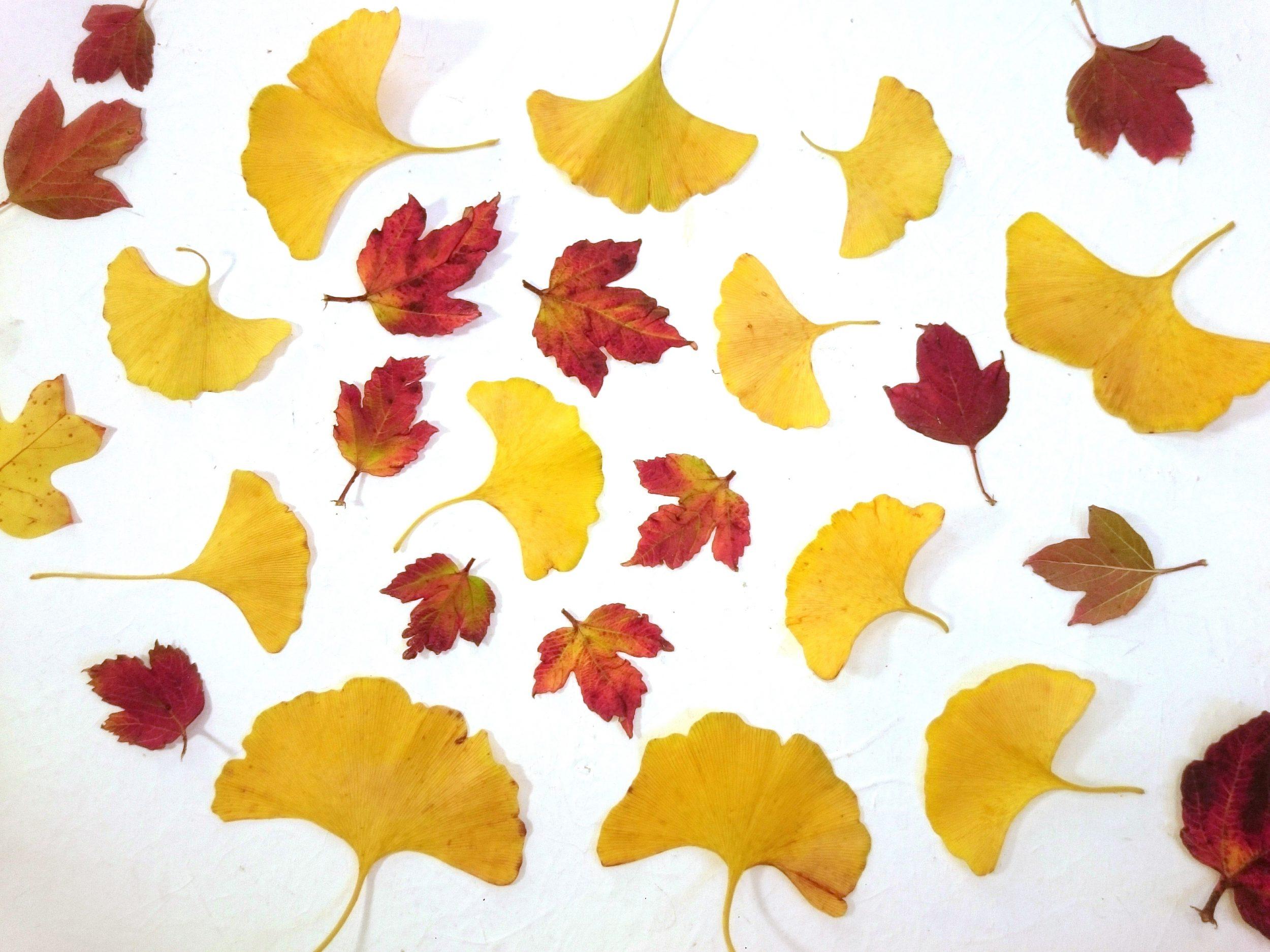 feuilles d'automne : feuilles jaune d'or de ginkgo biloba et feuilles rousses de buisson boule de neige