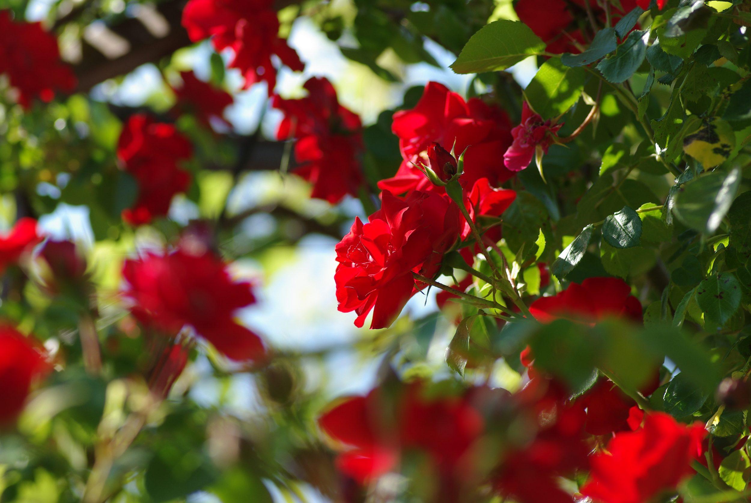 rosier à roses rouges