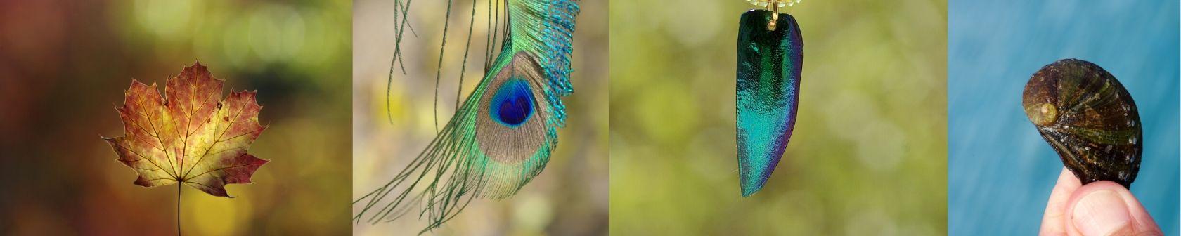 banière avec quatre photos déléments naturels : feuille d'automne, plume de paon, élytre de scarabée, coquillage haliotis