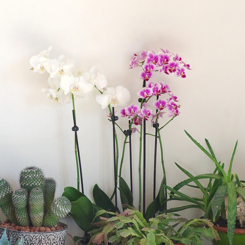 orchidées blanches et orchidées roses (petites fleurs)