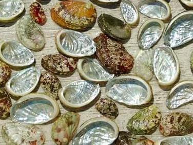 ormeaux de différentes tailles et couleurs, côté nacre brillante et côté coquille de plusieurs couleurs : marron, gris, kaki, roux