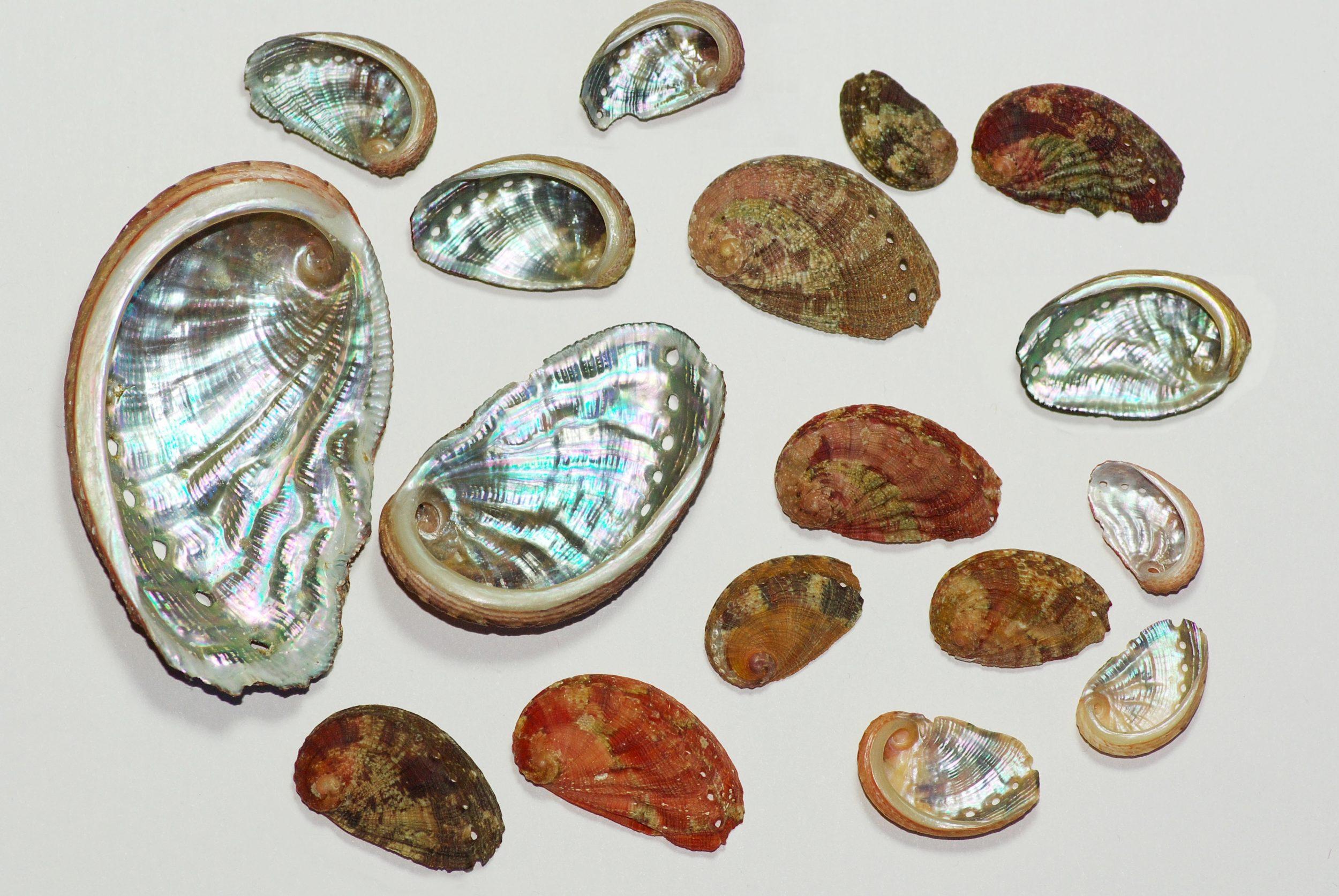 ormeaux de différentes tailles et couleurs, côté nacre brillante et côté coquille de plusieurs couleurs à dominante marron et roux