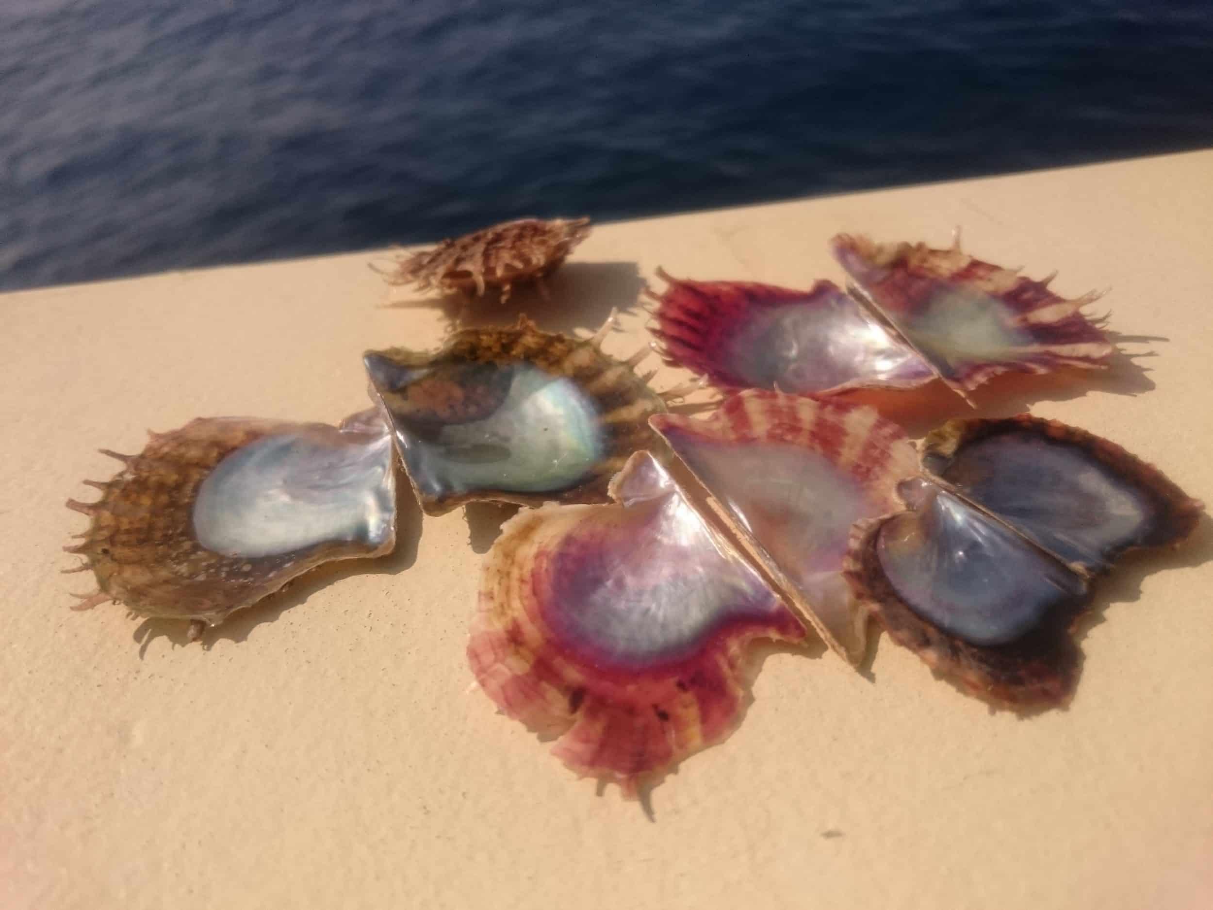 coquillages bivalves de type huitre, plats, avec l'intérieur en nacre très brillante. le pourtour est très dentelé pourpre ou kaki