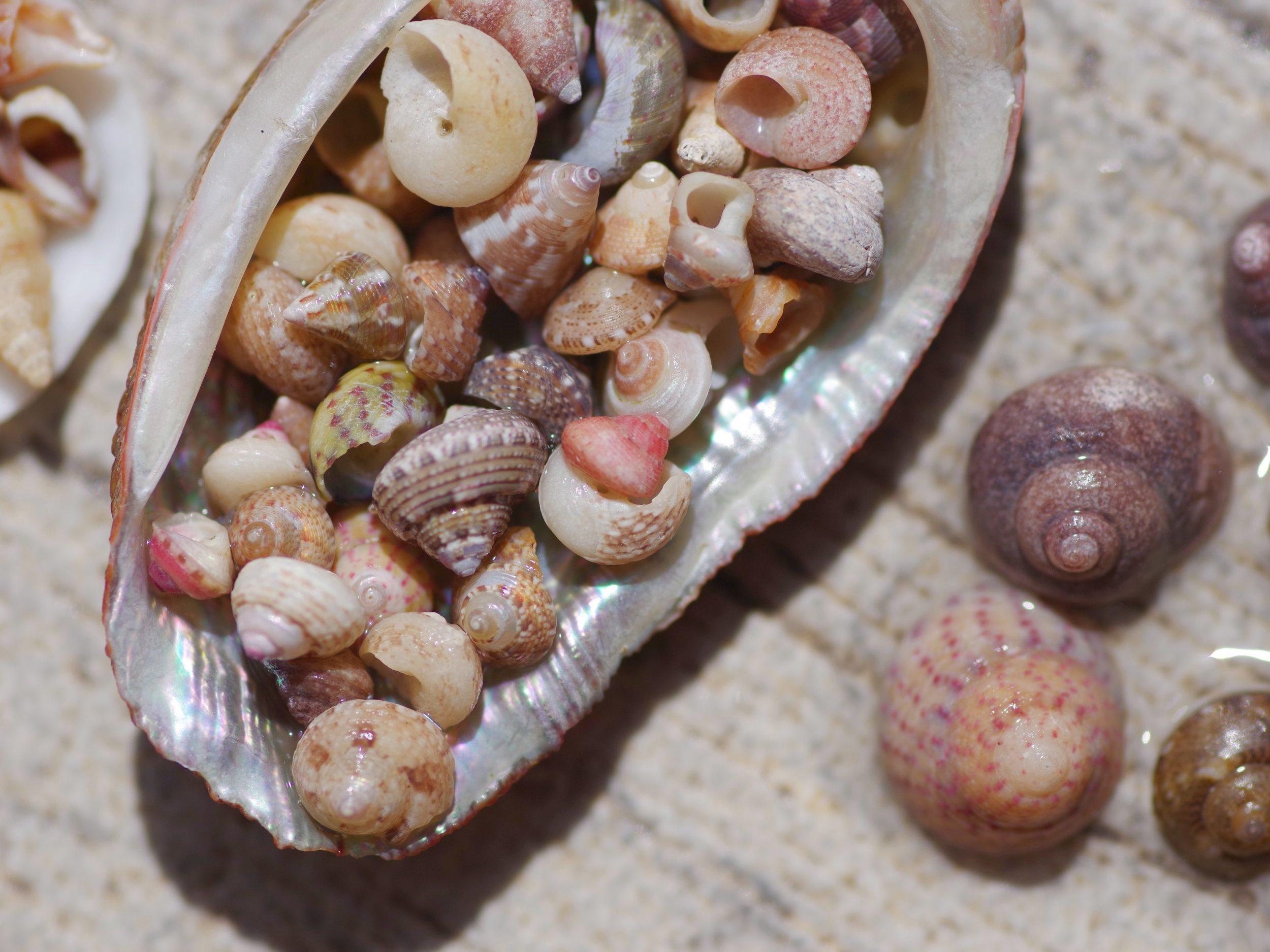 petits coquillages, macrocoquillages dans un ormeau