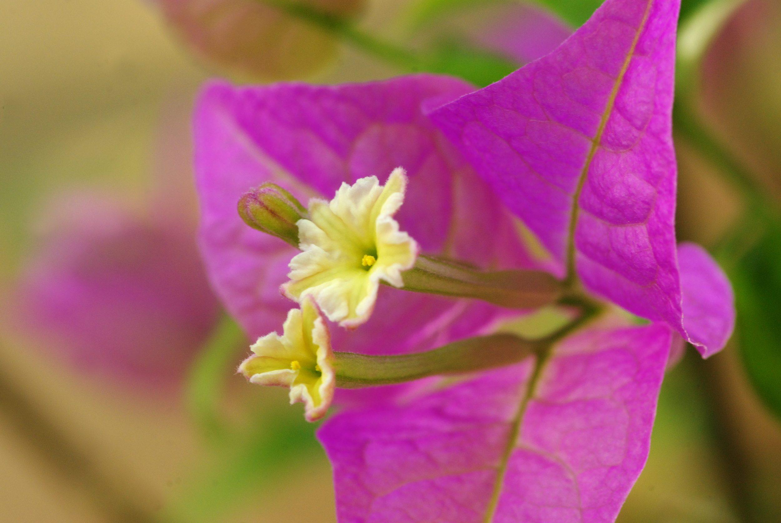 bractées de bougainvillée en gros plan avec ses petites fleurs au centre