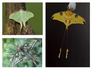 papillons comète de Madagascar et isabelle